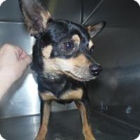 Chihuahua/Terrier (Unknown Type, Medium) Mix Dog for adoption in Clarksville, Arkansas - Chocko