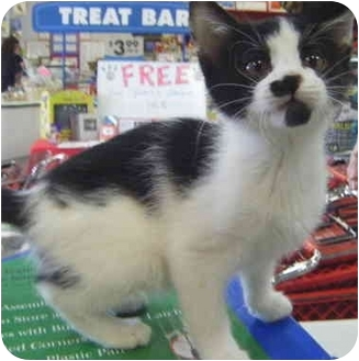 Domestic Shorthair Kitten for adoption in St. Louis, Missouri - Tash