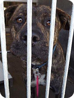 Hound (Unknown Type)/Staffordshire Bull Terrier Mix Dog for adoption in San Diego, California - Lady Bella URGENT