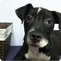 Adopt A Pet :: ROCCO - Dennis, MA