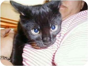 Domestic Shorthair Cat for adoption in Proctor, Minnesota - Bagherra