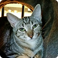 Domestic Mediumhair Cat for adoption in Mountain Center, California - Java