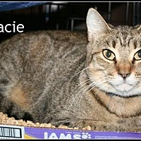 Domestic Shorthair Cat for adoption in Houston, Texas - Gracie