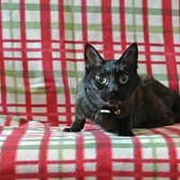 Domestic Shorthair Cat for adoption in Sebastian, Florida - Palos