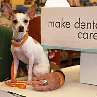 Italian Greyhound Mix Dog for adoption in Gilbert, Arizona - Mikey