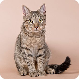 Domestic Shorthair Cat for adoption in Wilmington, Delaware - Ennis