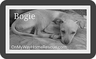 Greyhound/Chihuahua Mix Puppy for adoption in Henderson, Nevada - Bogie
