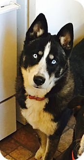 Husky Mix Puppy for adoption in Los Angeles, California - Pedley
