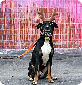 Labrador Retriever/German Shepherd Dog Mix Dog for adoption in Beverly Hills, California - PETE