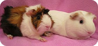 Guinea Pig for adoption in Steger, Illinois - Toph