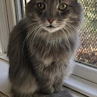Domestic Longhair Cat for adoption in Algonquin, Illinois - Chandler