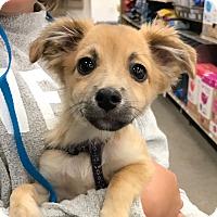 Adopt A Pet :: Bentley - Studio City, CA