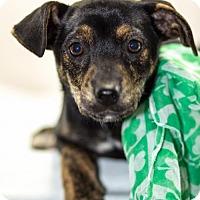 Adopt A Pet :: Shamrock - West Orange, NJ