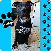 Adopt A Pet :: B-Bop - Des Moines, IA