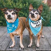 Adopt A Pet :: Pepe Chi - Pacific Grove, CA