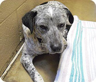 Australian Cattle Dog Mix Dog for adoption in Wickenburg, Arizona - Drew
