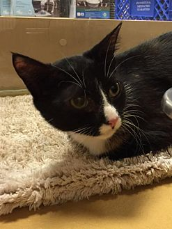 Domestic Shorthair Cat for adoption in Atlanta, Georgia - Turtle