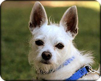Chihuahua Mix Dog for adoption in Thousand Oaks, California - Gus-Benjamin