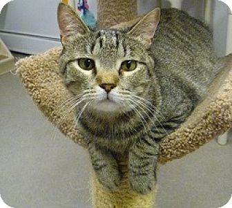 Domestic Shorthair Cat for adoption in Hamburg, New York - Peppy