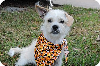 Terrier (Unknown Type, Small) Mix Dog for adoption in Houston, Texas - Bernie