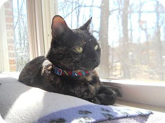 Domestic Shorthair Cat for adoption in Baltimore, Maryland - Lovey