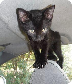 Manx Kitten for adoption in Wildwood, Florida - Stumpy