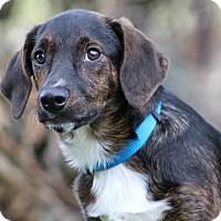 Adopt A Pet :: Blackjack - SOUTHINGTON, CT