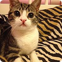 Adopt A Pet :: Katniss - Maywood, NJ