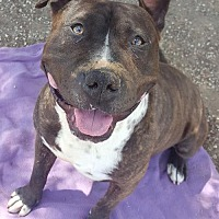 American Staffordshire Terrier Mix Dog for adoption in San Diego, California - COURTESY LISTING: Malcom