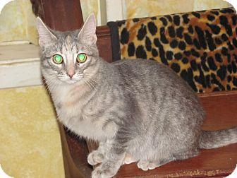 Domestic Shorthair Kitten for adoption in Houston, Texas - Suzy Q