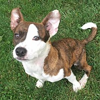 Pit Bull Terrier Dog for adoption in Berea, Ohio - Rey