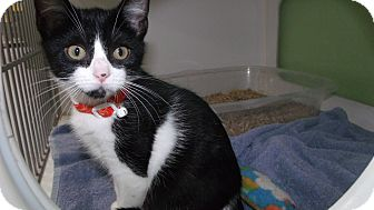 Domestic Shorthair Kitten for adoption in Muskegon, Michigan - darla