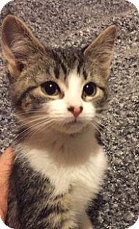 Domestic Shorthair Kitten for adoption in Woodstock, Ontario - Cassy