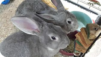 Flemish Giant Mix for adoption in Williston, Florida - Gilda and Goody