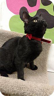 Domestic Shorthair Kitten for adoption in Bensalem, Pennsylvania - Peggy