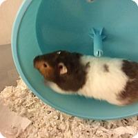 Adopt A Pet :: Pooh Bear - Bensalem, PA