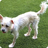 Terrier (Unknown Type, Small) Mix Dog for adoption in Allentown, Pennsylvania - Priscilla - been through a lot