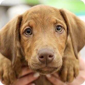 Labrador Retriever Mix Puppy for adoption in CUMMING, Georgia - Sirius