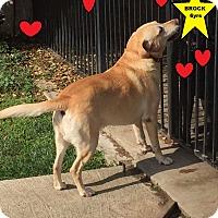 Adopt A Pet :: BROCK - Gustine, CA