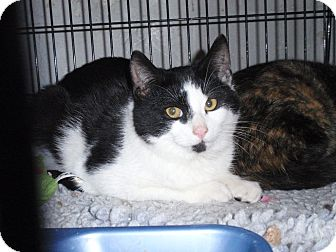 Domestic Shorthair Cat for adoption in East Brunswick, New Jersey - Rango