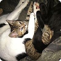 Adopt A Pet :: Kitten's Galore - Clay, NY