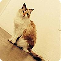 Adopt A Pet :: Midgie - Scottsdale, AZ