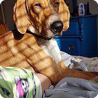 Adopt A Pet :: Dewy - Ogden, UT