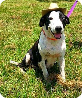 Hound (Unknown Type)/Labrador Retriever Mix Dog for adoption in Simsbury, Connecticut - Paulette