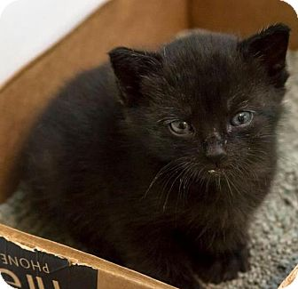 Domestic Shorthair Kitten for adoption in Bronx, New York - Onyx