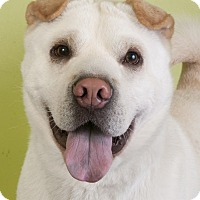 Labrador Retriever/Shar Pei Mix Dog for adoption in Chicago, Illinois - Tootsie