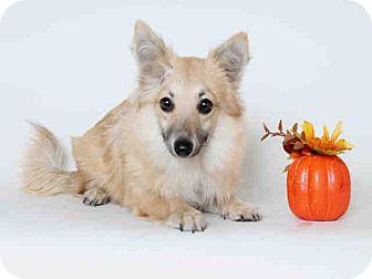 Welsh Corgi/Pomeranian Mix Puppy for adoption in Lomita, California - Selwyn