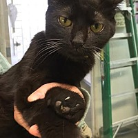 Domestic Shorthair Cat for adoption in Westminster, California - Midnight