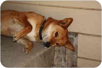 Jindo/Shiba Inu Mix Dog for adoption in Marysville, California - Scaper
