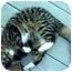 Photo 1 - Domestic Shorthair Cat for adoption in Colmar, Pennsylvania - Puff
